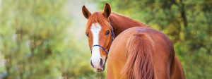 Ribes-Horse-Img